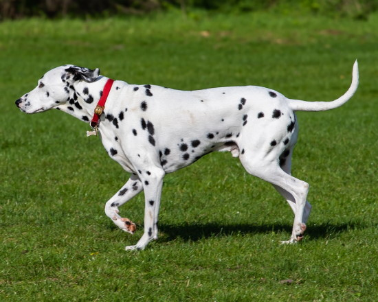 dalmatian the fastest dogs in the world