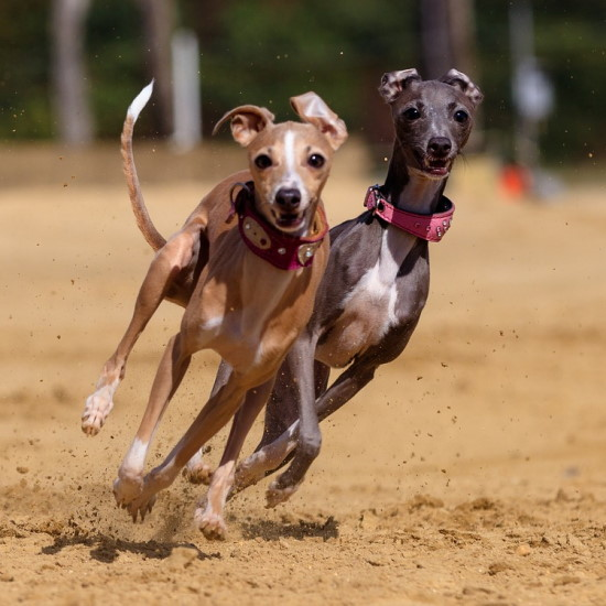 Greyhound the fastest dogs in the world