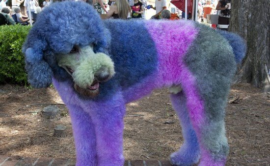 dog grooming disaster?
