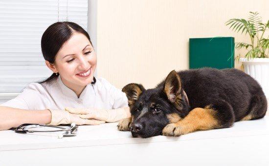 ver with german shepherd pup