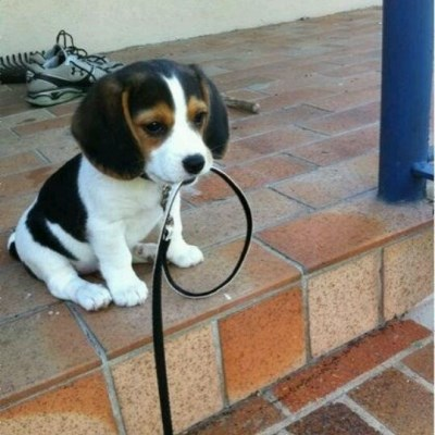 beagle ready for a walk